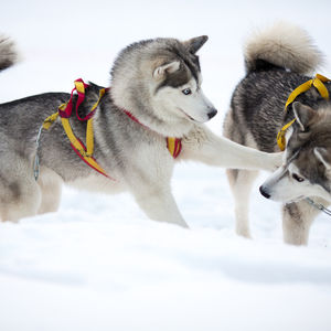 Happy New Year Dogsledding Tour in Lapland
