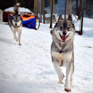 Dog sled adventure with creative workshop