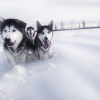 Alaskan Malamute Adventure in Alaska